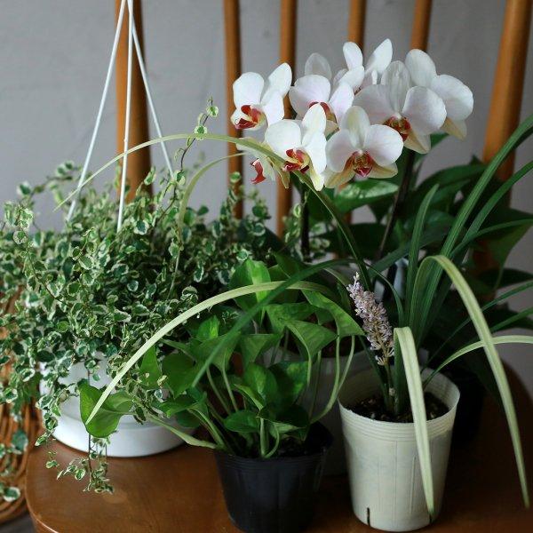 【自分で植える】コチョウランのお祝いブリコラージュセット