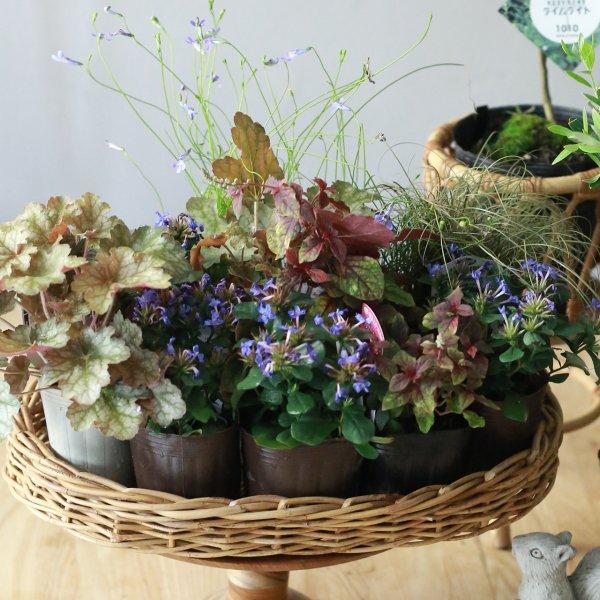 【自分で植える】ブルーサファイヤとカラーリーフの花苗セット