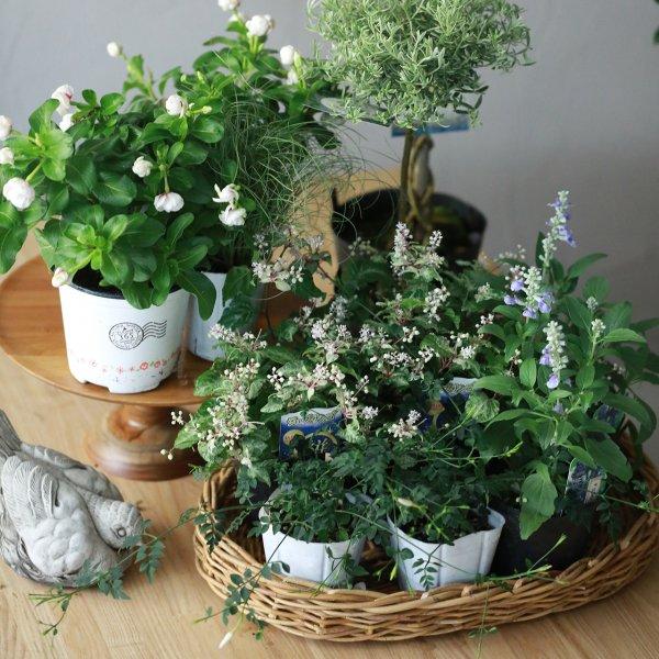 【自分で植える】ニチニチソウMIKIと斑入りジュズサンゴの花苗セット