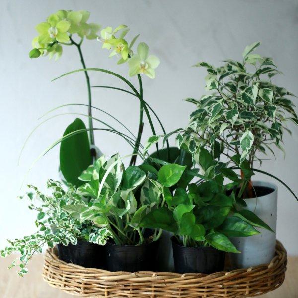 【自分で植える】黄色いコチョウランと観葉植物セット