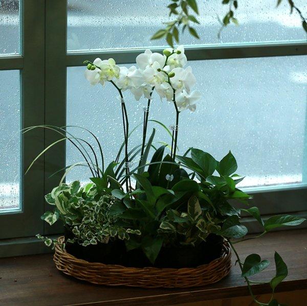 【産地直送】コチョウラン(ホワイト)とおまかせ観葉植物セット