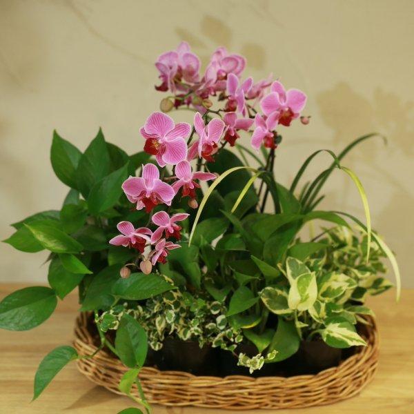 【産地直送】コチョウラン(ピンク)とおまかせ観葉植物セット