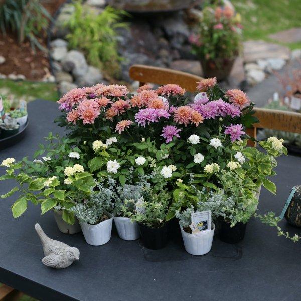 【自分で植える】ダヴィンチマムと季節の草花セット