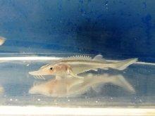 オオチョウザメ 10〜15cm