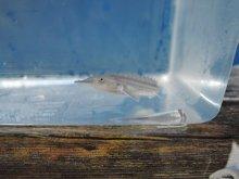 シロチョウザメ 約5cm