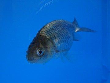 黒ランチュウ稚魚 約2cm 1尾_メイン