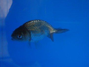 黒ランチュウ稚魚 約2cm 1尾_
