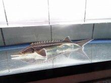 一点もの ベスタム(ベステル×アムールチョウザメ) 24cm(2021.04.10現在)