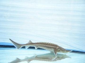 一点もの ハイブリッド(シベリアチョウザメ×ロシアチョウザメ) 8cm(2021.10.06現在)_