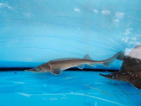 シベリアチョウザメ 5〜10cm