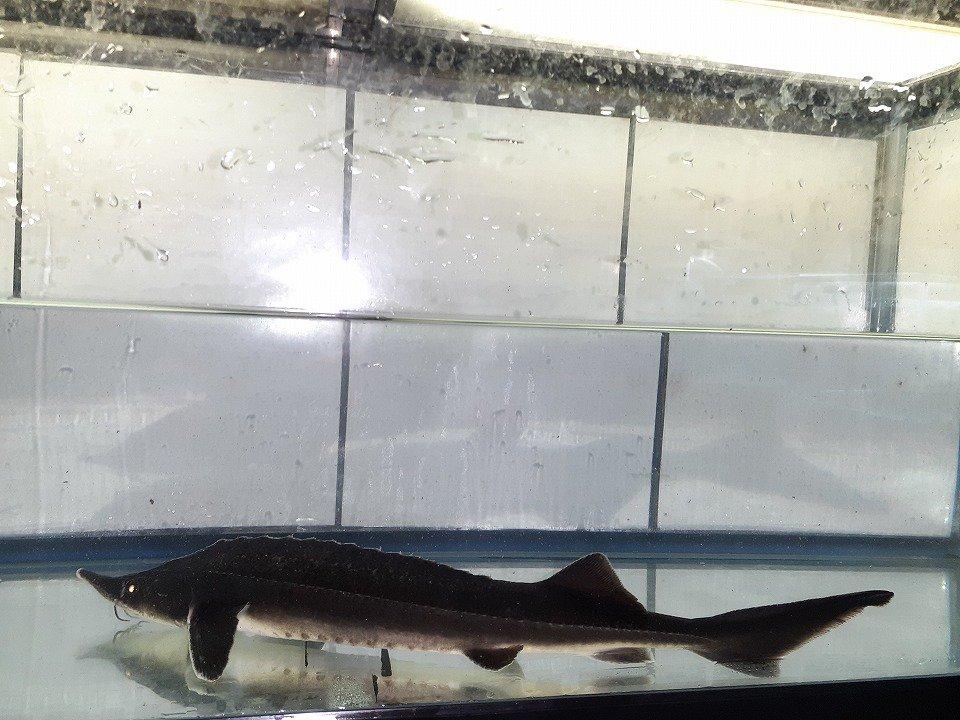 一点もの コチョウザメ 31cm(2021.04.10現在)_