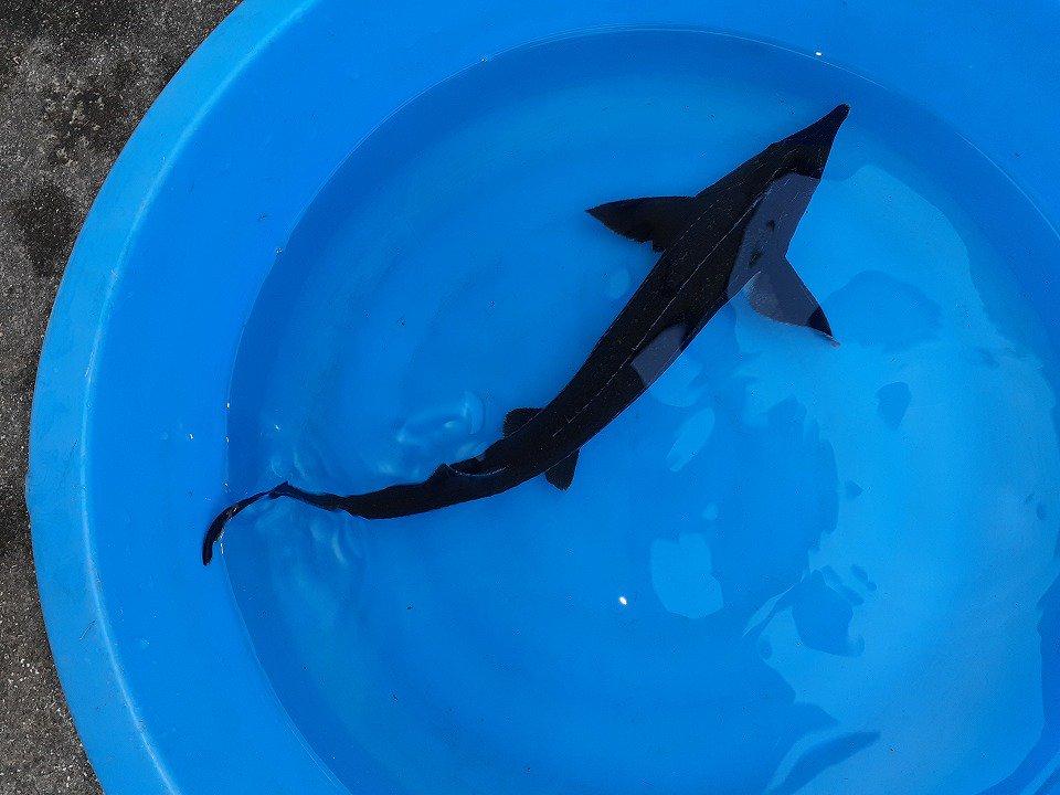 一点もの 訳あり個体 コチョウザメ 23cm(2021.10.11現在)_