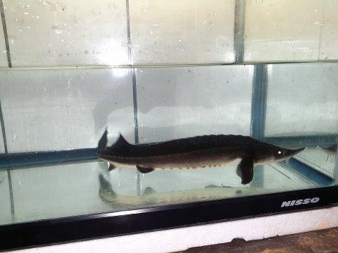一点もの コチョウザメ 31cm(2021.04.10現在)