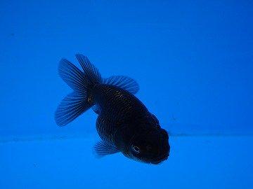 黒ランチュウ(選別モレ) 約5cm 2尾セット_