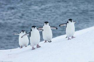 ヒゲペンギン ポスター