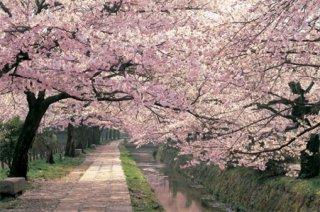 桜/哲学の道 ポスター